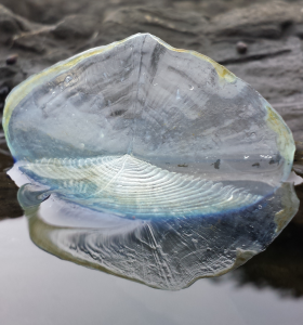By-The-Wind-Sailor, Velella velella, by Paul Horn