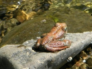 California Red-Legged Frog by Darrell Paige (Large)