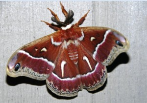 Ceanothus Moth by Clay Yale (Medium)