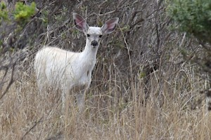 The White Fawn by Allen Vinson