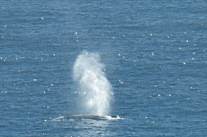 The tall spout of a Blue Whale by Allen Vinson
