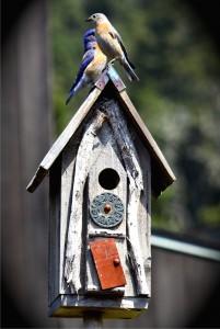 Western Bluebird pair by Susan Grenwelge