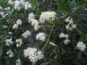 Wild Clematis, Clematis ligusticifolia, by Peter Baye