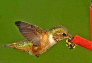 Allen's Hummingbird and a Bumblebee share a feeder by Siegfried Matull