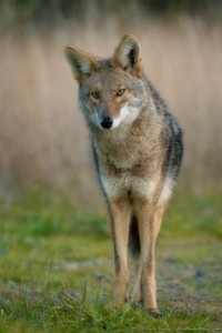 Coyote by Craig Tooley