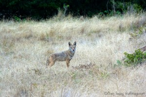 Coyote on The Sea Ranch by C raig Tooley