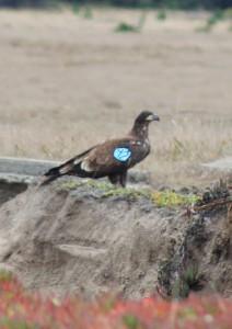 Liberty, a tagged juvenile Bald Eagle by Jeff Petit