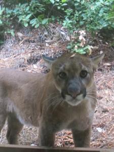 Mountain Lion outside my window by Cece Case