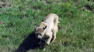 A Bobcat hunts by Mark Simkins