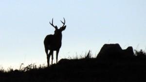 A Buck at dawn by Mark Simkins