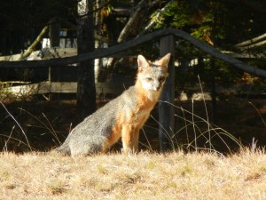 A Gray Fox enjoying the sun by Gail Spencer