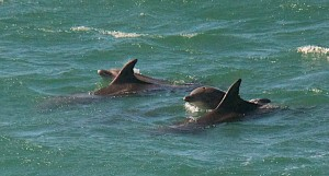 Bottle-nosed Dolphins off Walk-On-Beach by Allen Vinson