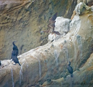 Brandt's Cormorants eyeing a Brown Booby by Craig Tooley