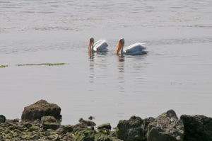 American White Pelicans off Bodega Bay by Allen Vinson