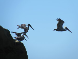 Brown Pelicans take off by Harm Wilkinson