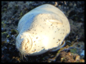 The sun sure feels good - a Harbor Seal rests by Peter Cracknell