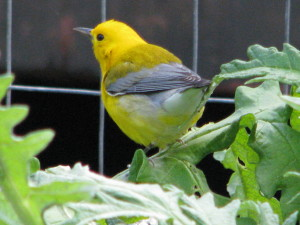 A rare visitor - a male Prothonotary Warbler by Leslie Dahlhoff