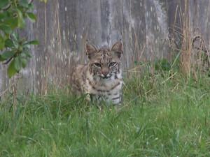 Bobcat by Niki Ward