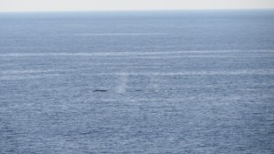 Early California Gray Whales migrating south by Richard Kuehn