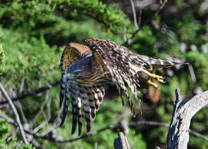 Immature Red-shouldered Hawk by Paul Brewer