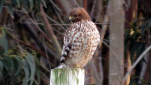 A juvenile Red-shouldered Hawk by Mark Simkins