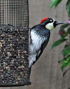 Female Acorn Woodpecker by Siegfried Matull