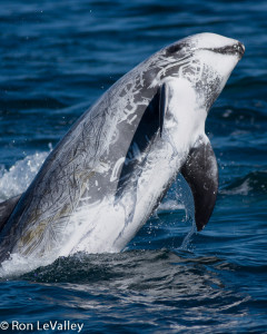 Risso's Dolphin 1 by Ron LeValley