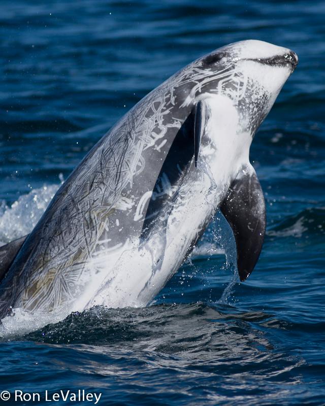 Rissos dolphin - photo#13