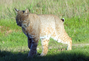 A Bobcat just walked by my window by Mark Simkins