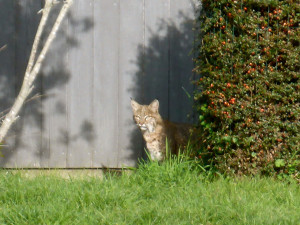 A Bobcat watches by Margaret Lindgren