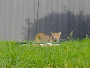 Bobcat by Margaret Lindgren