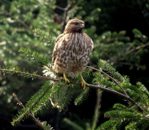Juvenile Red-shouldered Hawk by Robert Scarola