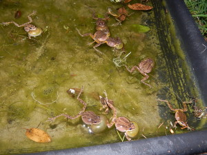 Sierran Treefrogs vocalizing by Peter Baye