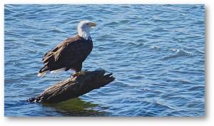 Adult Bald Eagle at the Gualala River by Richard Kuehn
