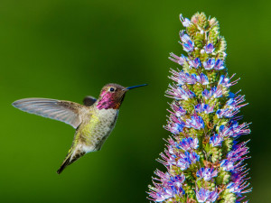 Anna's Hummingbird about to feed by Paul Brewer