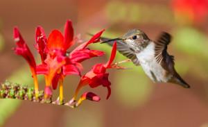 Anna's Hummingbird feeding 2 by Paul Brewer