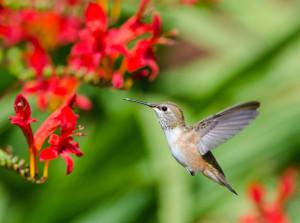 Anna's Hummingbird feeding by Paul Brewer