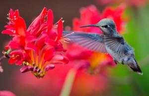 Anna's Hummingbird feeds by Paul Brewer
