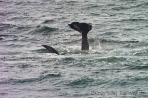 Female Gray Whale trying to avoid amorous males by Craig Tooley