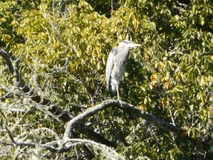 Great Blue Heron along the Gualala River by Karen Tracy