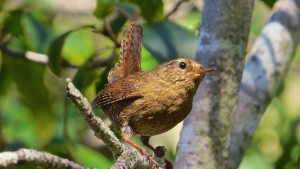 Pacific Wren by Rich Kuehn