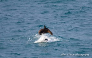 Sea Lions playing 2 by Allen Vinson