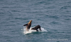 Sea Lions playing by Allen Vinson