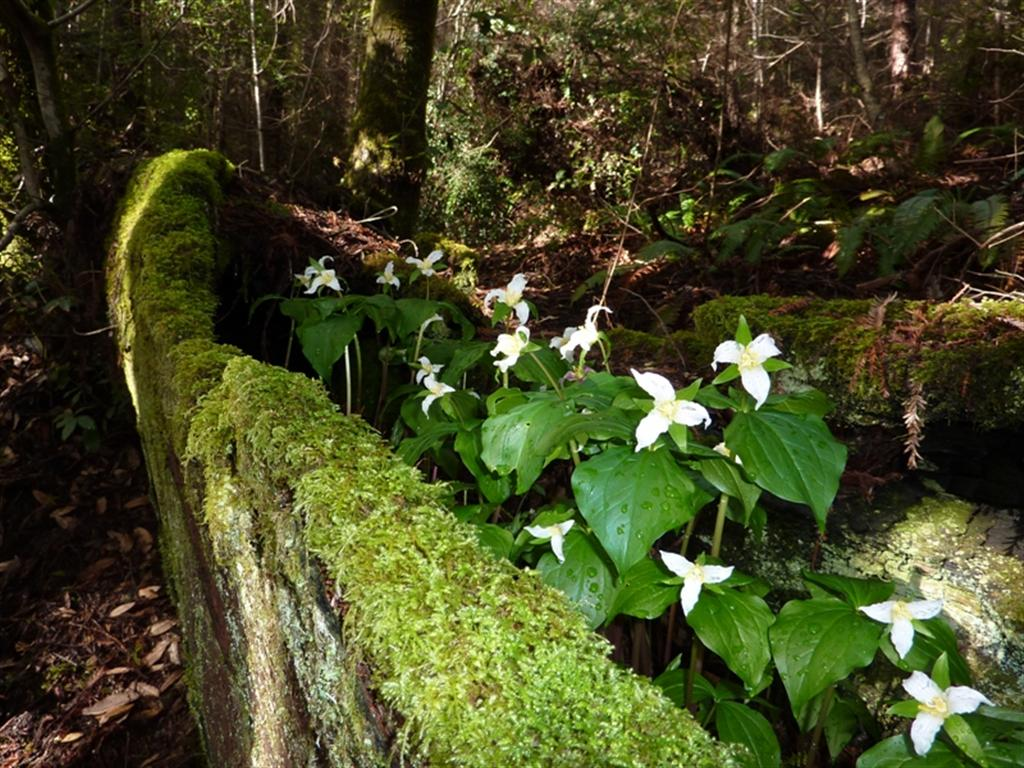 Western trilliums mendonoma sightings for Plante western