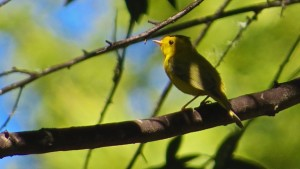 Wilson's Warbler by Richard Kuehn