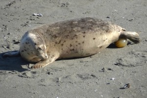 A Harbor Seal pup being born by Barbara Thrush
