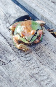 A Sierran Tree Frog changing color by Richard Kuehn