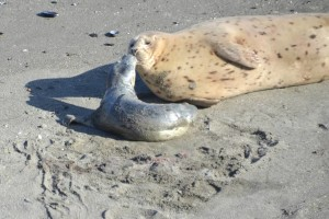 A newborn Harbor Seal pup bonding with its mother by Barbara Thrush