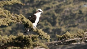 An Osprey rests by Peter Cracknell