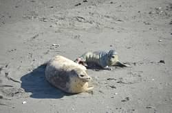 And the Harbor Seal pup is born by Barbara Thrush